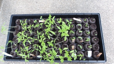 Seedlings ready to transplant